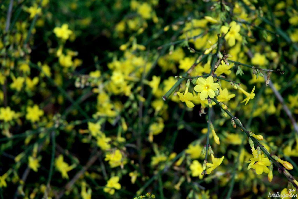 Der Winterjasmin Jasminum nudiflorum eignet sich sogar als Bodendecker für Hanglagen