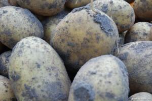 Frisch geerntet: Kartoffel Belana