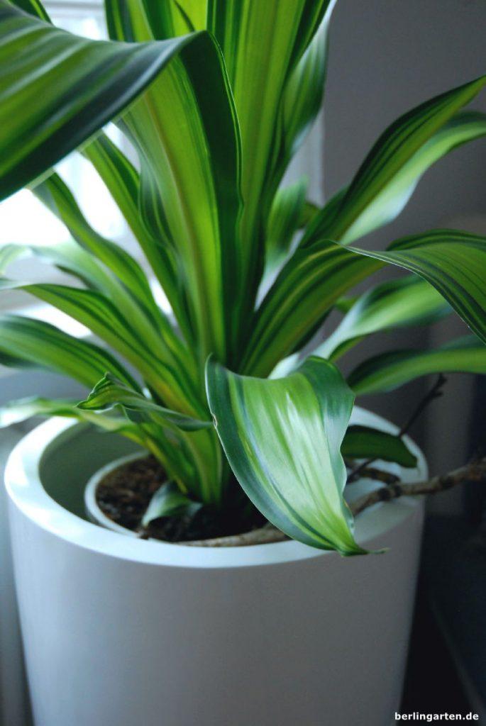 Durch den hohen Topf nah am Fenster. Es gibt auch Pflanzeinsätze für Erd- und Hydrokultur.