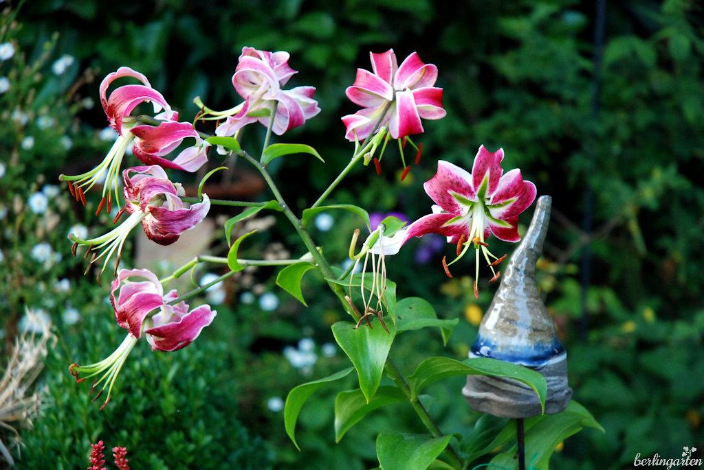 Die hohe Prachtlilie 'Black Beauty' bringt einen Hauch Exotik in den Garten und passt dennoch gut in natürliche Beete