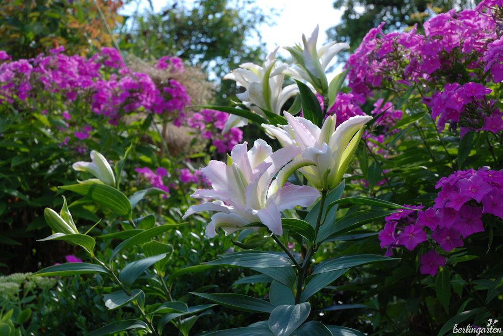 Gefüllte Lilien und Phlox in meinem Hochsommergarten