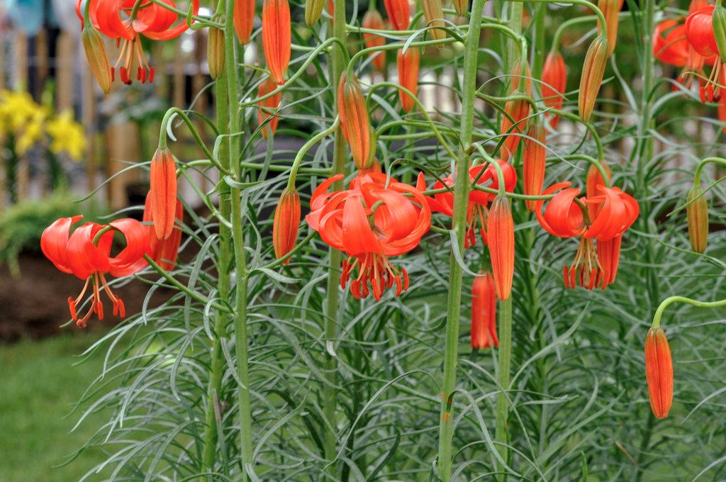 Lilium pumilum bleibt klein und eignet sich gut für Gefäße