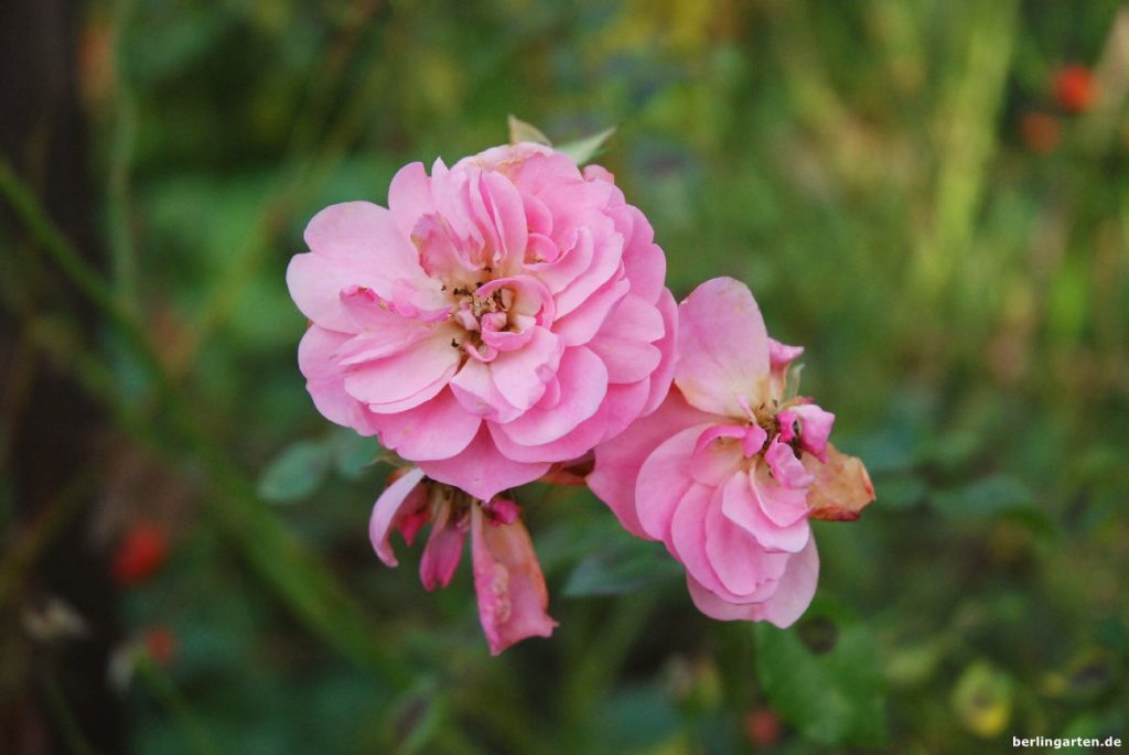 Rose Bonica 82