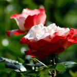 Parallel blühen die Rosen