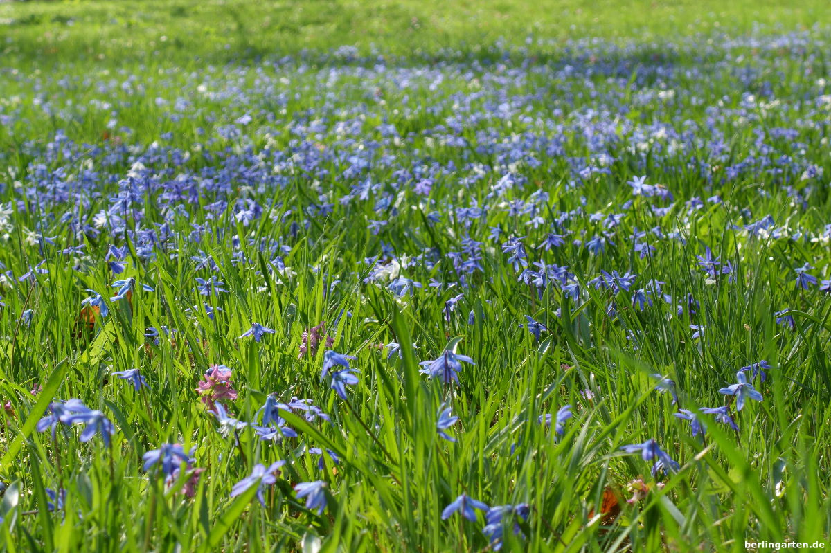 Rasen mit einem blauen Meer von Scilla