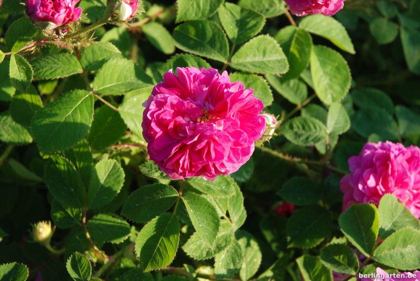 Damaszenerrose Rose de Resht