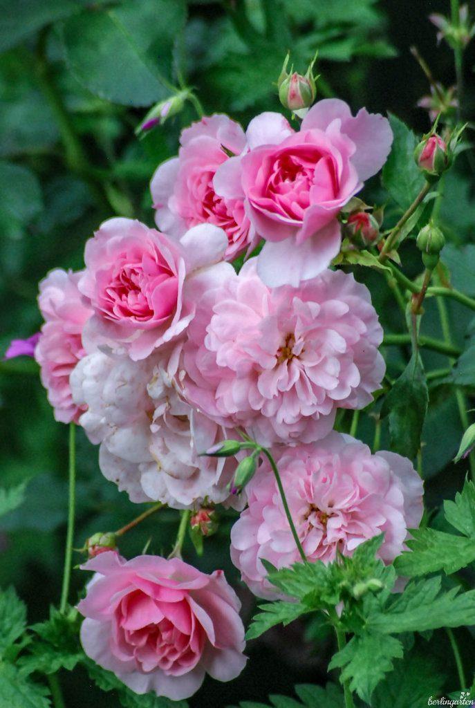 Als Polyantharose erscheinen die Blüten in Büscheln und schönem Farbspiel