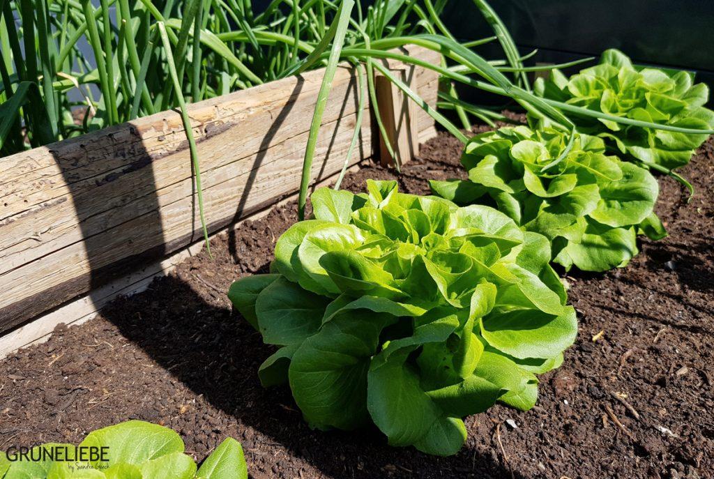 Absolut Trend: Salat im Hochbeet