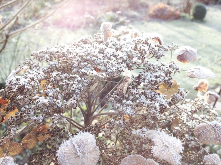 Zart und filigran und das Gegenteil von düsterem Winter: Samthortensie