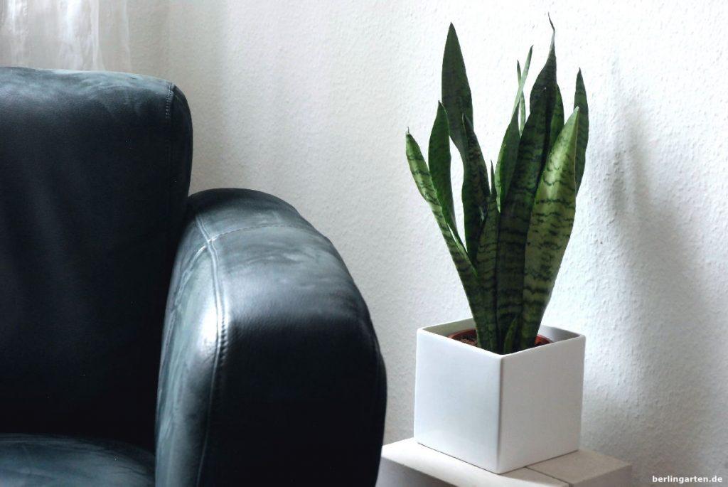 Der Bogenhanf Sansevieria mag es in Gesellschaft mit dem strengen Sessel