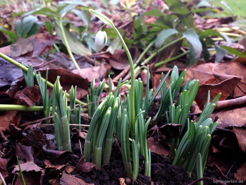 Schneeglöckchen Galanthus nivalis Sam Arnott