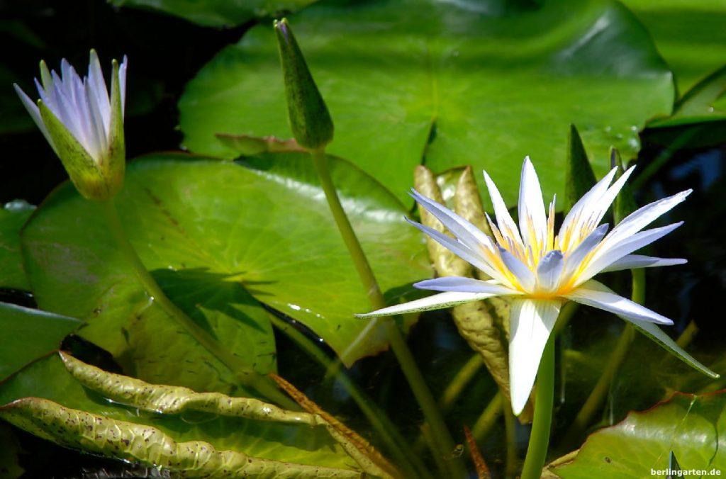 berlingarten bester Gartenblog, Seerose Nymphea x daubenyana