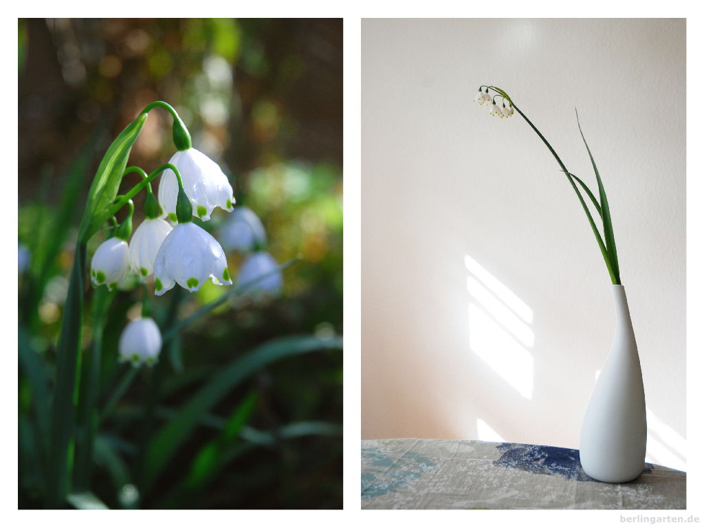 Sommerknotenblume Leucojum in Garten und Vase