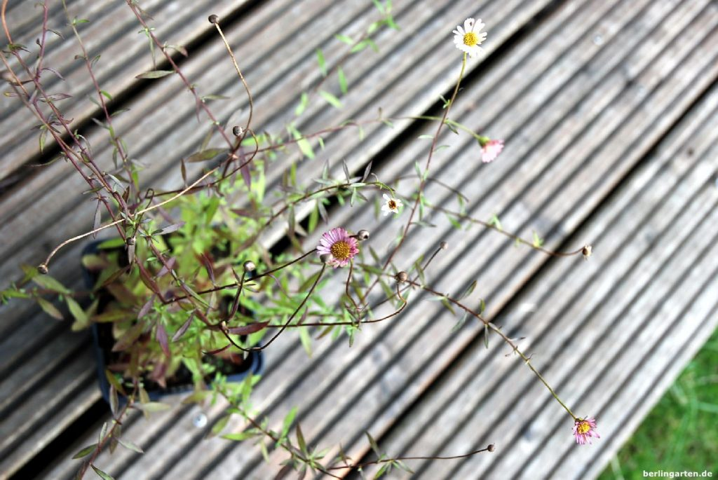 Spanisches Gänseblümchen
