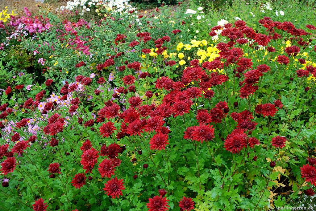 Traumhaftes Chrysanthemenbeet