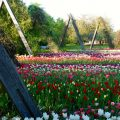 Tulipan-Schau: zigtausende Tulpen in allen Farben