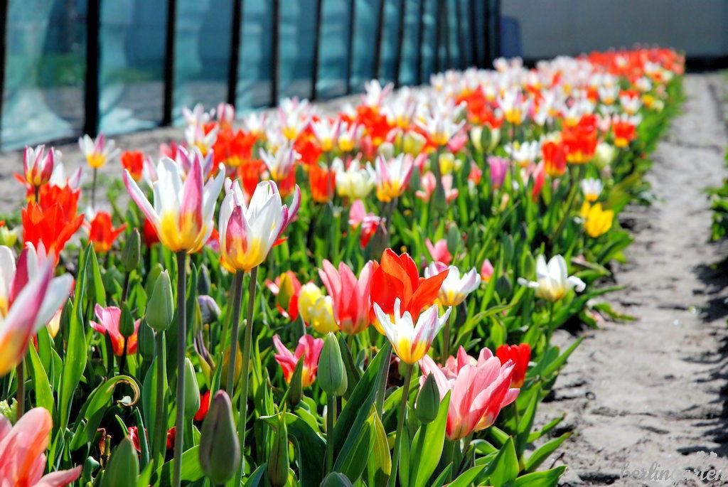 Tulpenfeld Gegenlicht
