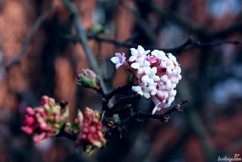 Der Winterschneeball Virburnum bodnantense 'Dawn' ist robust und unkompliziert