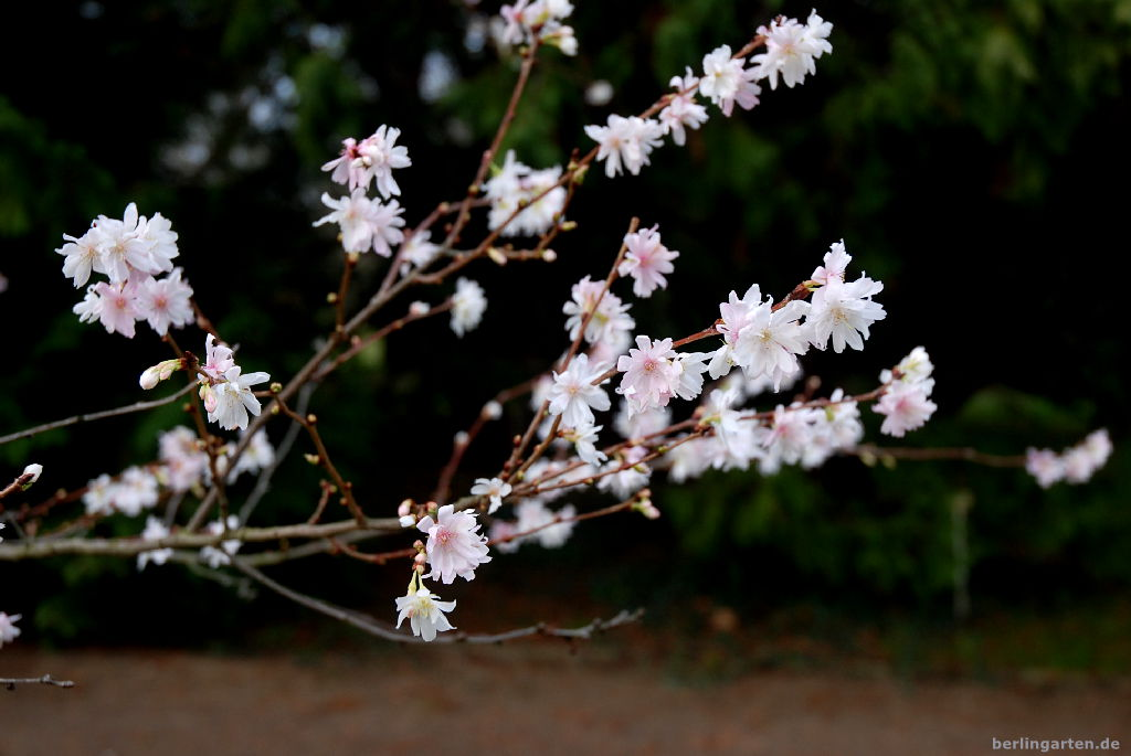 Zierkirsche Prunus subhirtella 'Autumnalis'