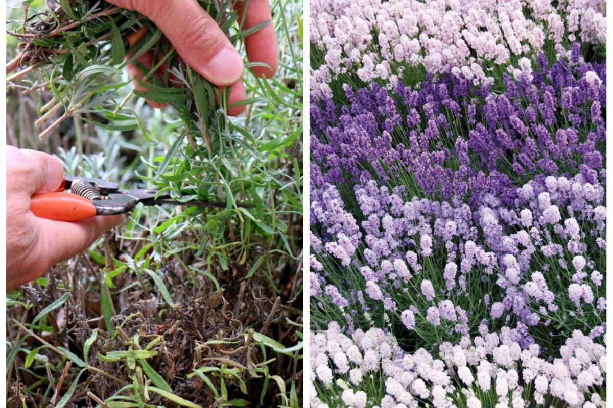berlingarten Lavendelschnitt