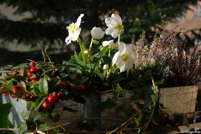 Christrose 'Wintergold' blüht früh und prächtig