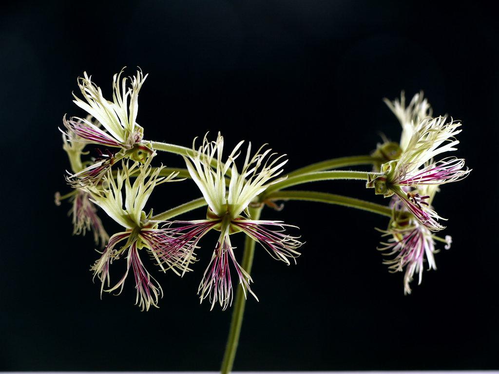 Pelargonium schizipetalum ist nachtduftend